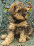 Phantom Schnoodle Puppies