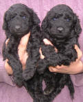 Schnoodle Puppies Black