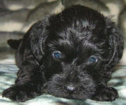 Schnoodle Puppy Black