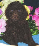 Chocolate Schnoodle Puppy