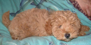 Red Schnoodle Puppy