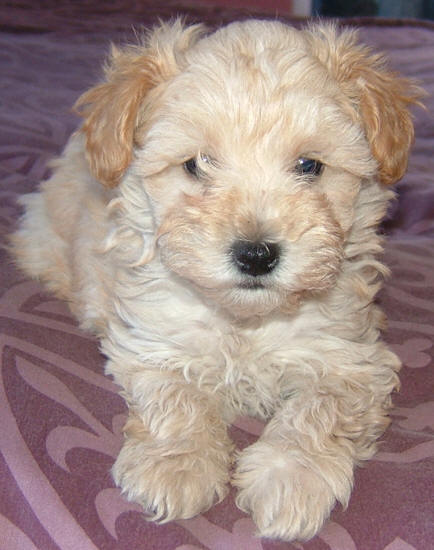 Schnoodle Puppy White And Cream