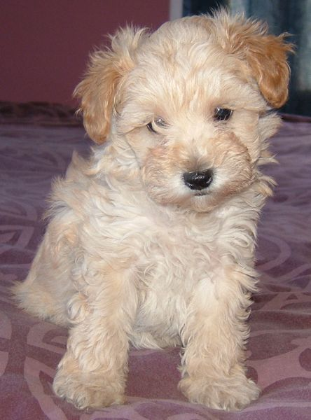 Schnoodle Pictures - Pictures of Schnoodles