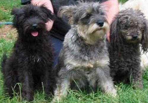 Valley View Schnoodle Breeders Schnoodle Information