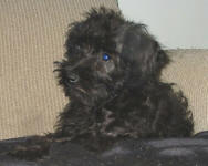 Cara - Toy Schnoodle