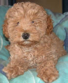 Red Toy Schnoodle Puppy