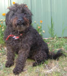 Sally - Toy Schnoodle