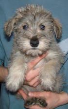 Silver Toy Schnoodle - Pepper