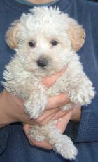 White Toy Schnoodle Puppy