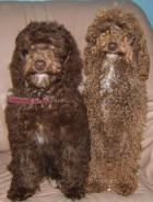 Chocolate Schnoodles - Kahlua and Sarah