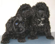 Spoodle Puppies Black