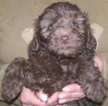 Chocolate Spoodle Puppies