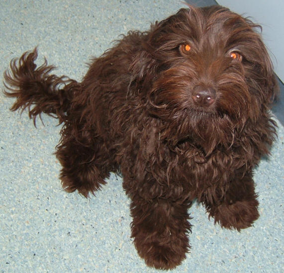 Spoodle Pictures Pictures Of Spoodles