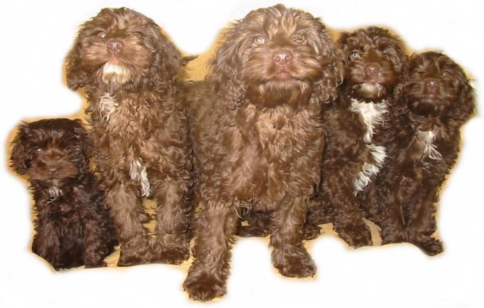 Valley View Spoodle Breeders - Spoodle Information