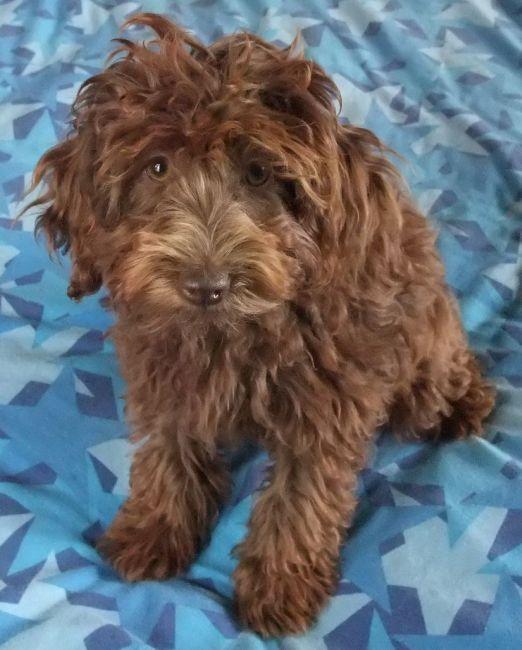 Spoodle Dog For Sale
