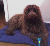 Cafe Labradoodle - Lucy
