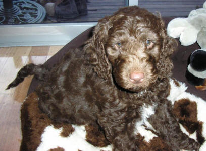 Chocolate Labradoodle - Max