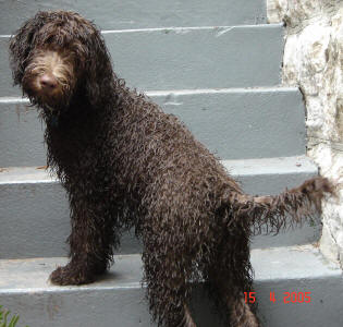 Labradoodle - Bare