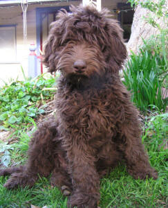 Labradoodle - Moby