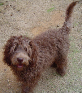 Labradoodle - Nelson