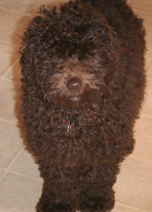 Miniature Chocolate Schnoodle Coco
