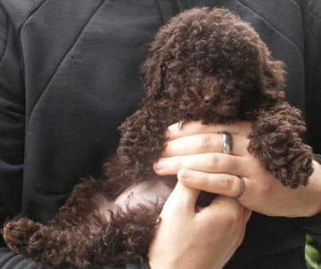 Chocolate Miniature Schnoodle - Ferny