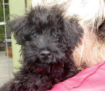 Black Toy Schnoodle - Tiger