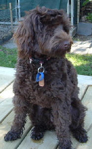 Chocolate Labradoodle - Chelsea