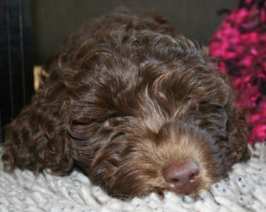 Chocolate Labradoodle - Chewy