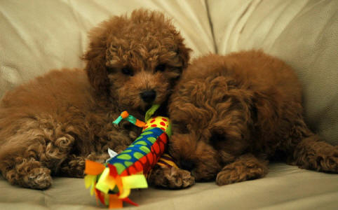 Red Toy Schnoodles - Ruby & Scarlett