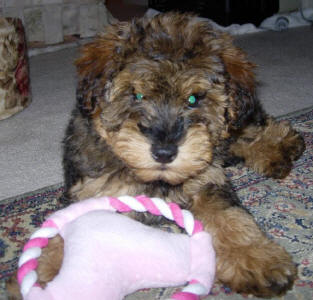 Phantom Toy Schnoodle - Lotte