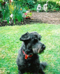 Toy Schnoodle - Mitzi