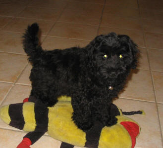 Schnoodle - Scooby