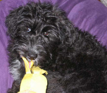 Toy Schnoodle- Abby