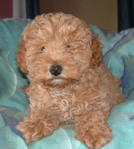 Red Toy Schnoodle - Ozzy